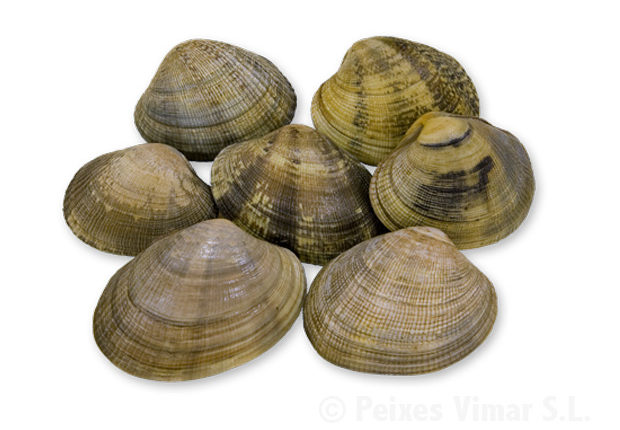 picture of short-necked clam