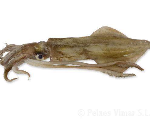 Fotografía de calamar