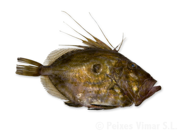 picture of john dory