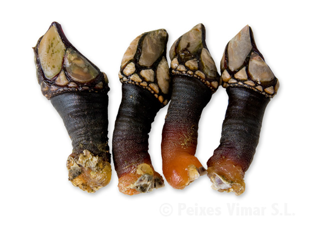 picture of goose barnacle