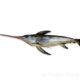 Fotografía de pez espada