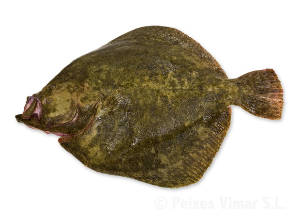 picture of turbot